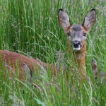 Roe Deer with twins